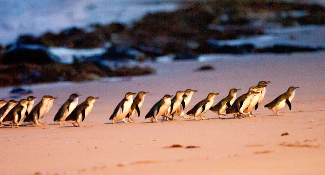Phillip Island, Penguin Parade