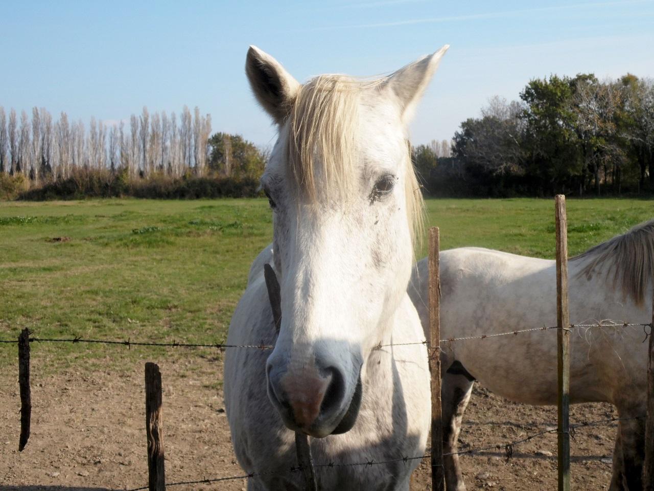 Cavallo razza Camargue